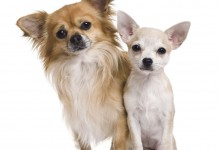 Here's How Your Chihuahua Really Feels About You