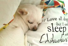Sharing Your Bed With Your Chihuahua Improves Sleep And Feeling Of Security