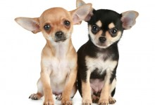 How To Deal With Jealous Chihuahuas