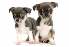 Chihuahuas and Small Children – Can They Coexist?