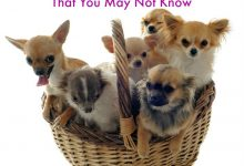 55 Facts About Chihuahuas