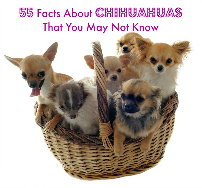 55 Facts About Chihuahuas - ChihuahuaLiscious