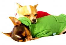 These Six Sleeping Positions Reveal Secrets About Your Chihuahua's Personality