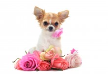 12 Emotions Your Chihuahua Felt But Could Not Express