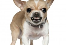 Possessive and Territorial Aggression in Chihuahuas