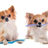 Bad Breath in Chihuahuas: Causes and Cures