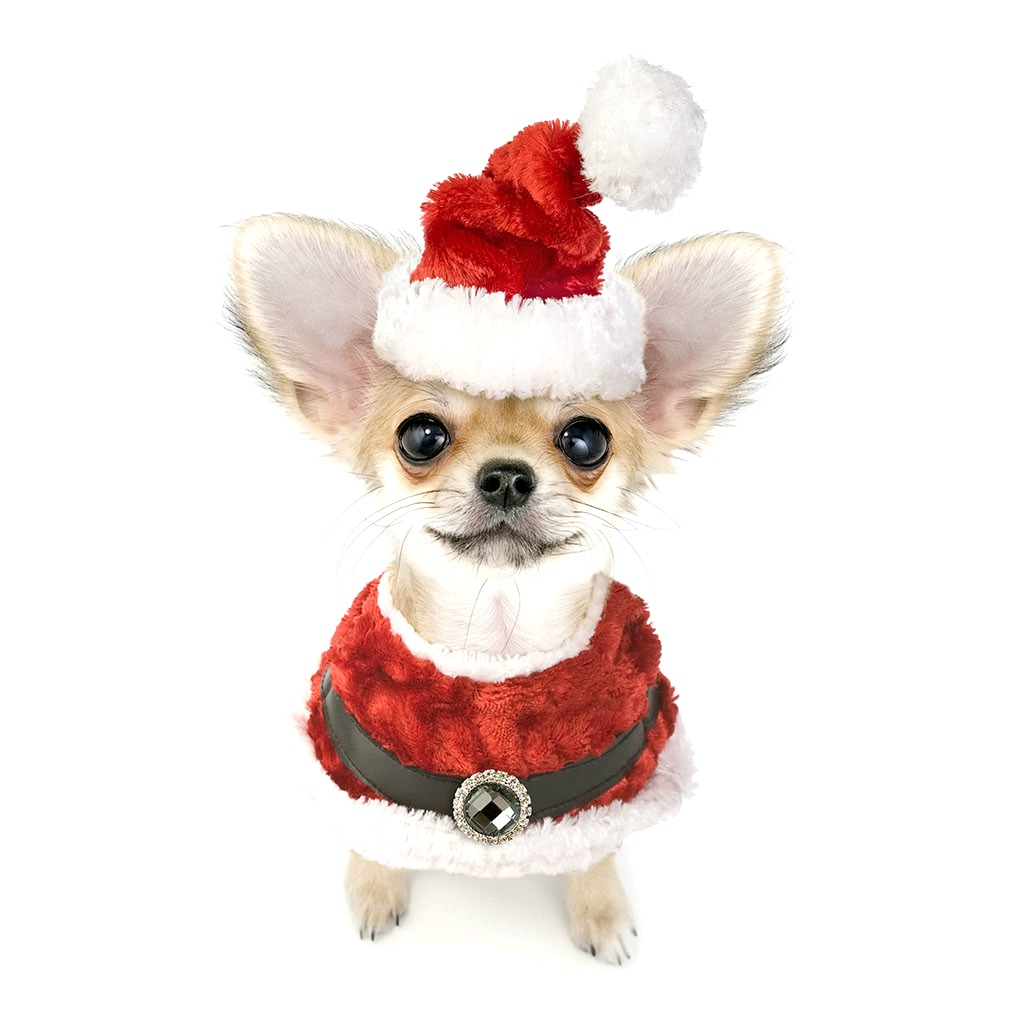 ChihuahuaLiscious Christmas Photo Contest 2016