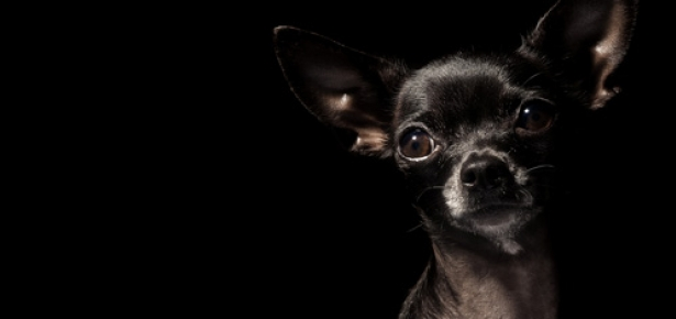 Chihuahua_hd