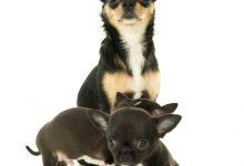 Chihuahua Pregnancy And Whelping