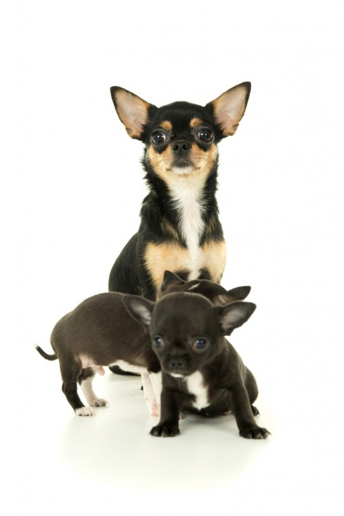 Chihuahua Pregnancy And Whelping - ChihuahuaLiscious