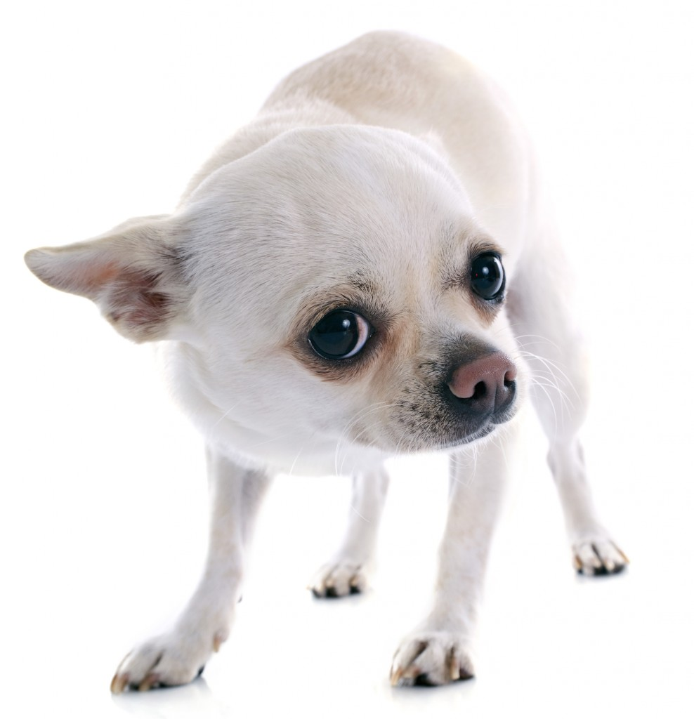 bigstock-Afraid-Chihuahua-53308174