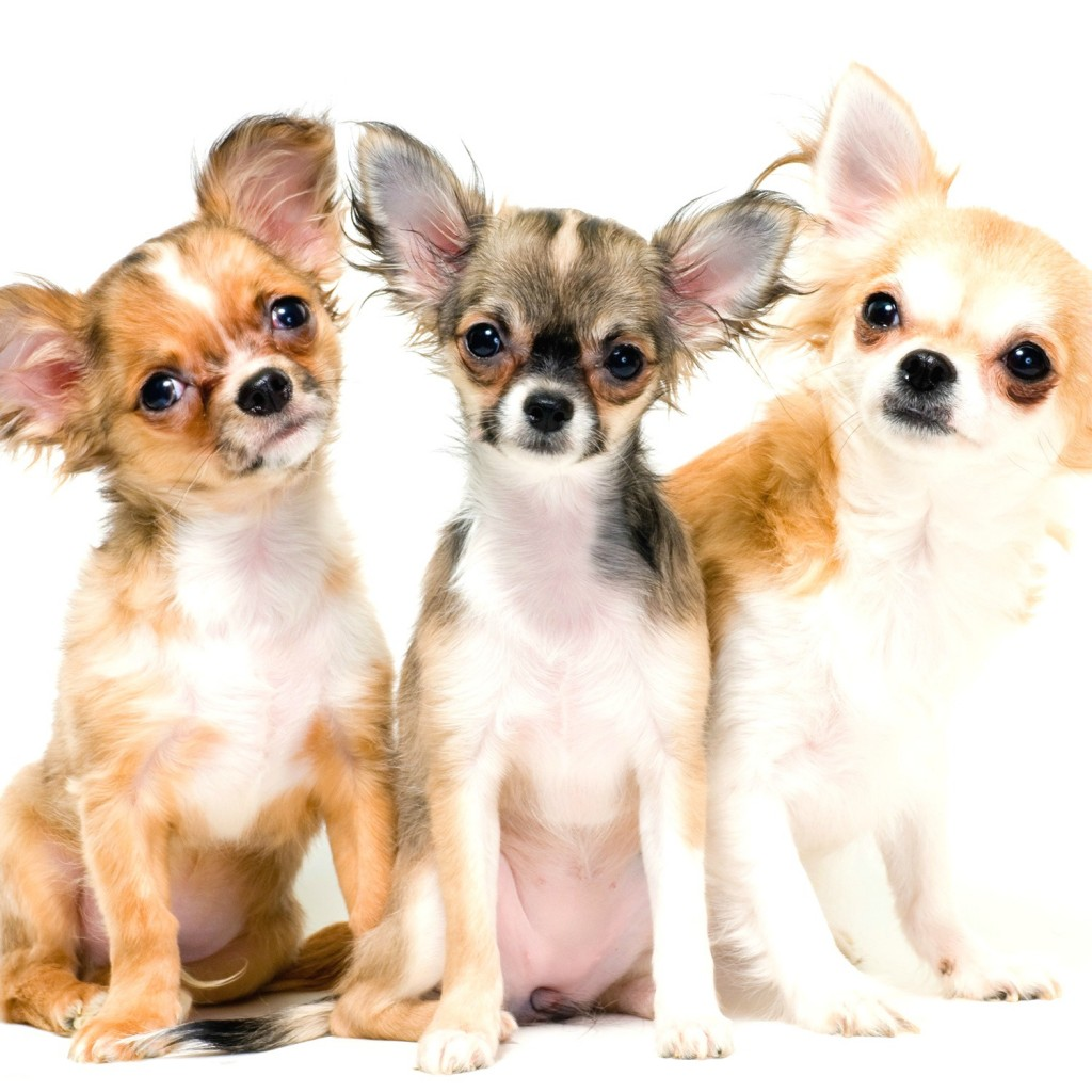 chihuahua-dogs