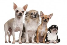 Interpreting your Chihuahua's (and other Dog's) body language