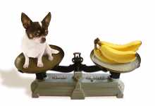 Chihuahua Weight