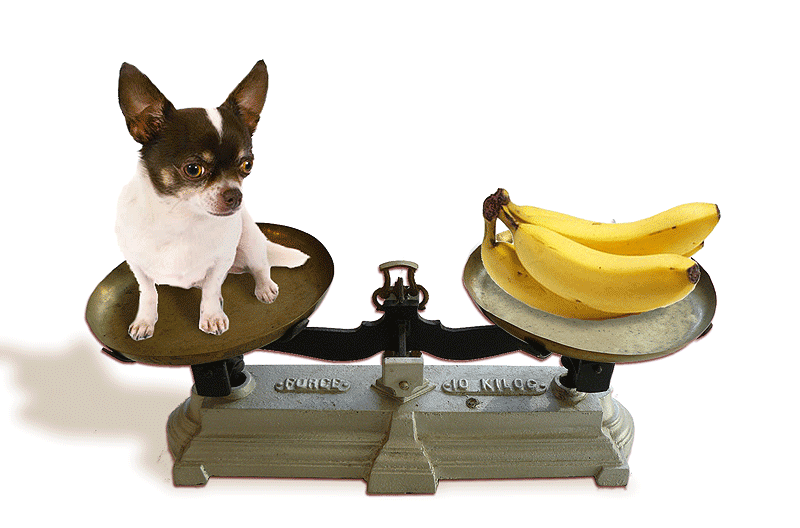 chihuahua_banana_scales