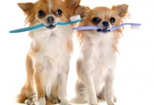 Chihuahua Dental Care and Oral Hygiene