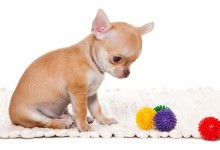 How To Stop a Chihuahua From Chewing on Everything