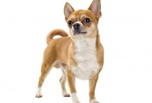 Help! My Chihuahua Is A Tiny Terror!