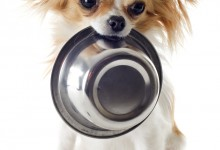 Choosing The Right Dog Food For a Chihuahua