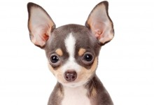 Teacup Chihuahuas – Separating The Facts From The Fiction