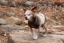 Harley – The Rescue Chihuahua That Survived a Horrific Life In a Puppy Mill