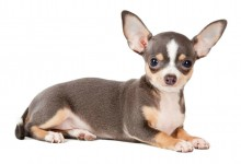 Leaving a Chihuahua Home Alone and Separation Anxiety