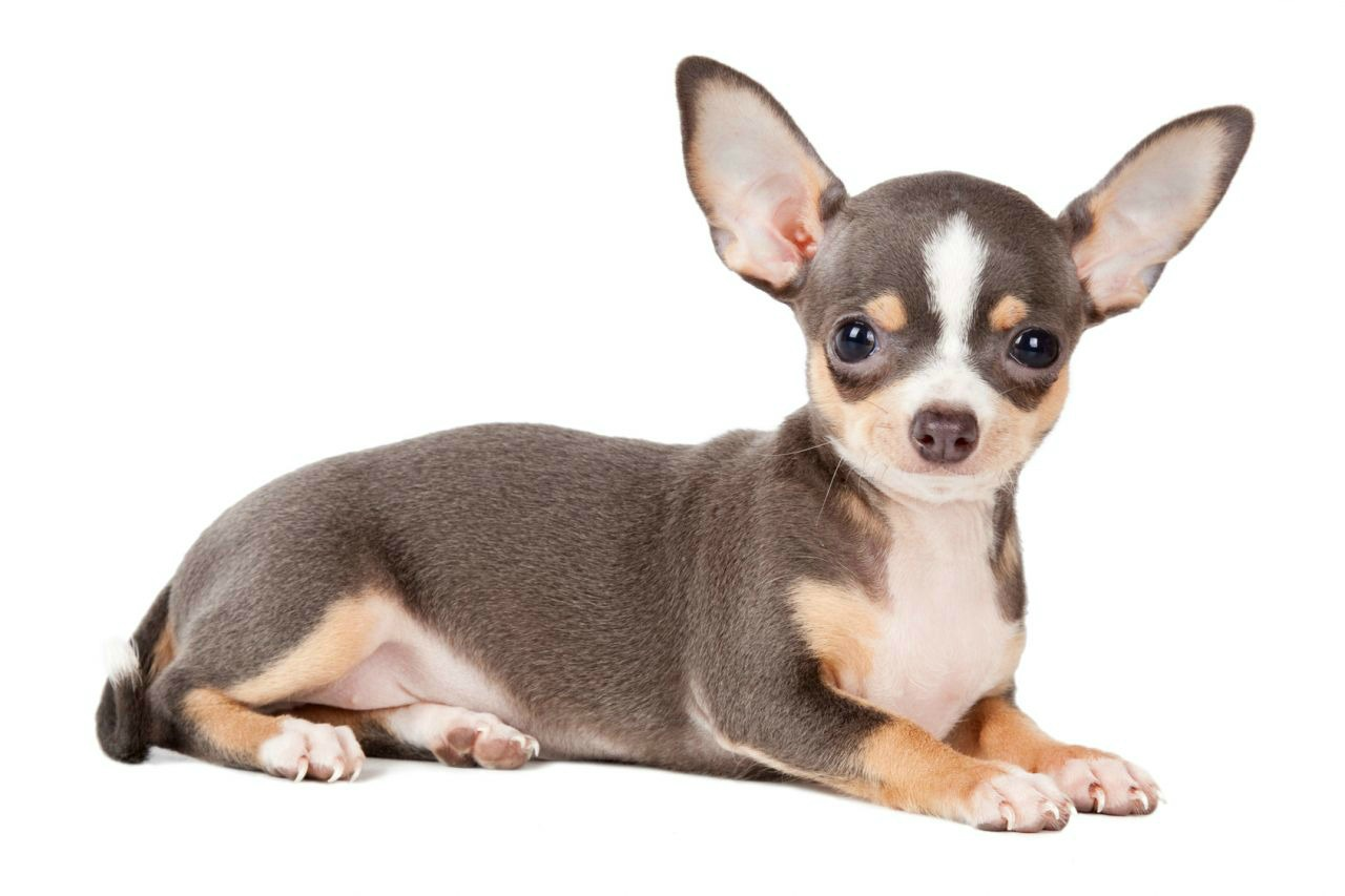 hereditary-health-and-genetic-diversity-within-the-chihuahua-dog-breed-54c6214dd9f30