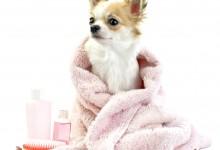 Chihuahua Shedding