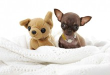 Tiny Chihuahua Milly is the world's smallest dog