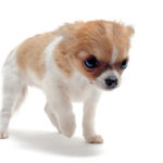 Common Diarrhea Causes In Chihuahuas