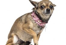 11 Anti-Stress Foods For Your Chihuahua