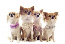5 Signs Your Chihuahua is a Doggy Diva