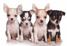Why Do Puppies Eat Poop?